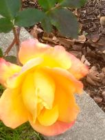 Yellow Rose before pruning